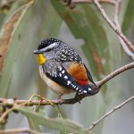 Oh – the agony of choice! Which birds for Fabulous Feathered Friday? We have gone with the small birds of the Glenelg Hopkins region to end #nationalbirdweek. The Diamond Firetail, Spotted Pardalote, Beautiful Firetail and Superb Fairy-wren  📸 Rob Drummond #prettylittlebirds