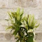 Image for the Tweet beginning: 優美なリンドウが開花してきてる様子。花が開いていくのを見るのも好き💕 #花のある暮らし #リンドウ
