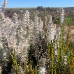Have you ever seen the samphire plant in flower? We snapped this beauty at a recent field trip out to Goomalling.