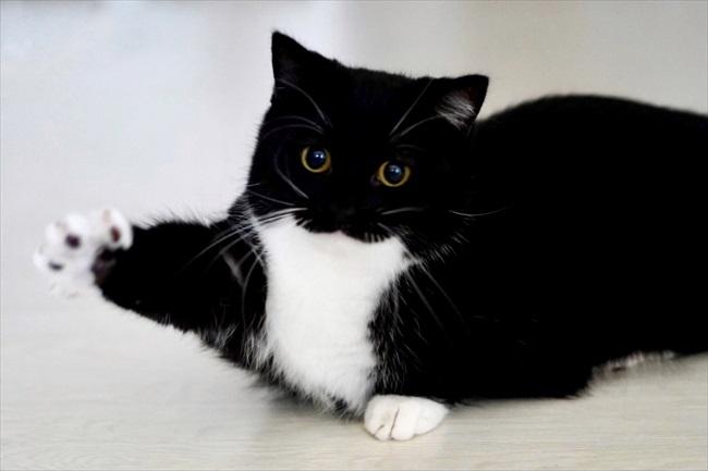 キュートだネコ「ハイッ!(ω)」 ぷっくり口元のネコちゃん、手を上げてお返事するようなポーズに「無限に可愛い」の声