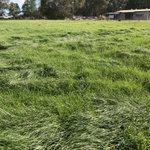 Bealey perennial ryegrass demonstrating persistence 5 years from planting at Manjimup