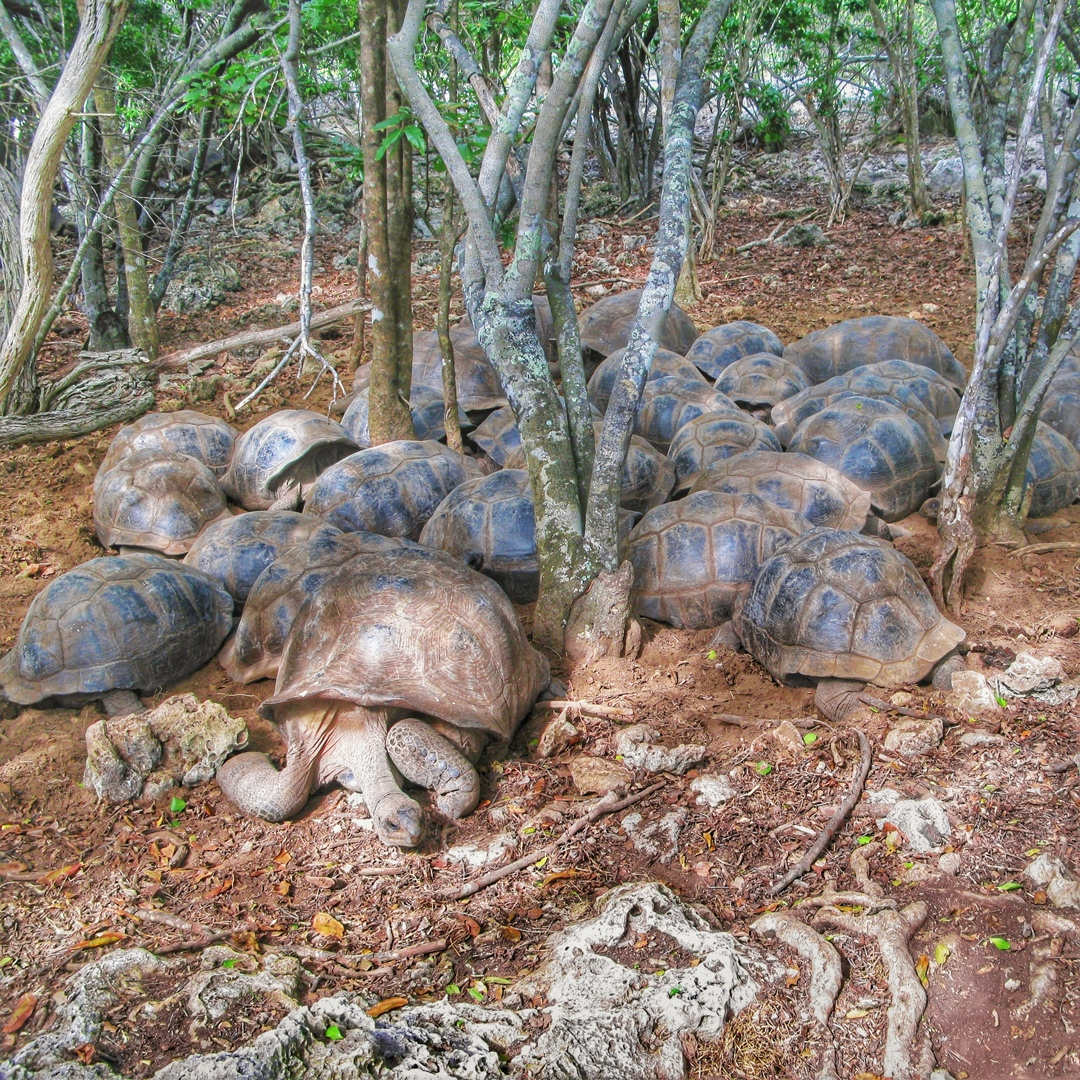 Aldabra giant tortoises rest after a busy week of grazing and browsing on the atoll. As reptiles they must rest to avoid overheating in the midday sun, they like to huddle together with their heads facing towards the center, but there is always one! #tortoisefacts #reptilelife
