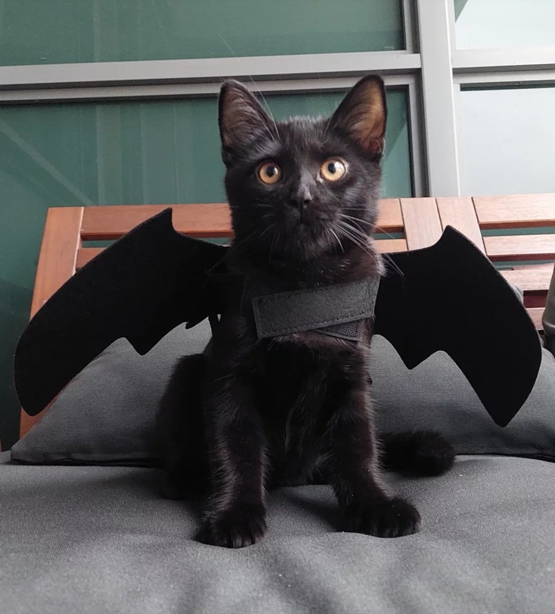 He may be the night but I am the day. CatBat! (Halloween in 9 days 🦇🎃👻)  #FreakyFriday