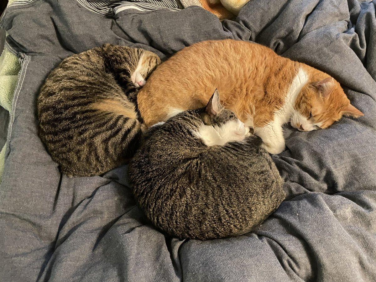 たまに「どうしてそんなに猫ちゃん同士仲が良いのですか?」と聞かれたりするが、仔猫の時は母乳で育て、手間を惜しまず無添加の手作りフードを与え、時間があればマッサージと読み聞かせと知育おもちゃ、寝る前はクラシックを聴かせて、トイレ掃除は一日五回。なんてことは一切ない。たまたま。相性。