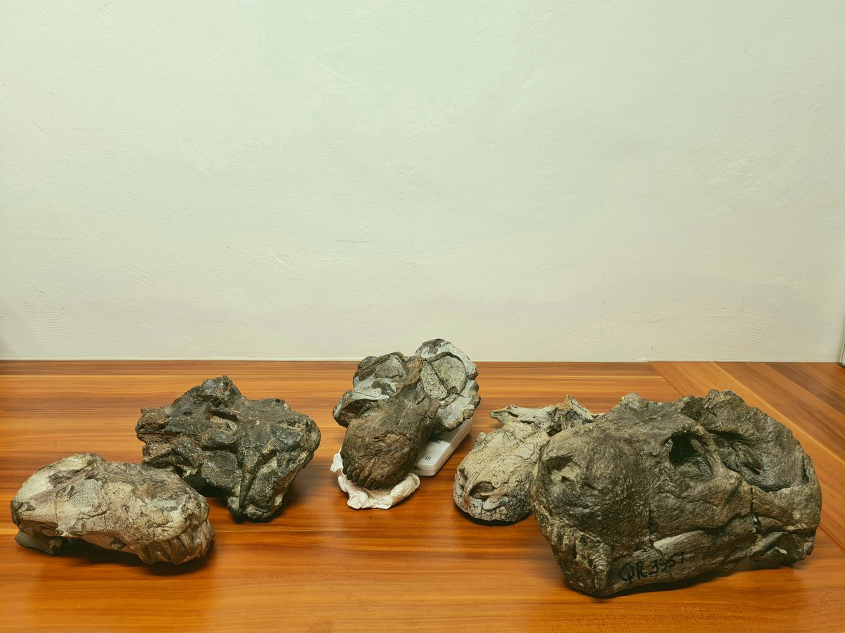 Here's a few skulls of the large predatory therocephalian Moschorhinus. I've been spending a lot of time with these guys this year studying all the parts of the specimens that aren't in the photo. #FossilFriday