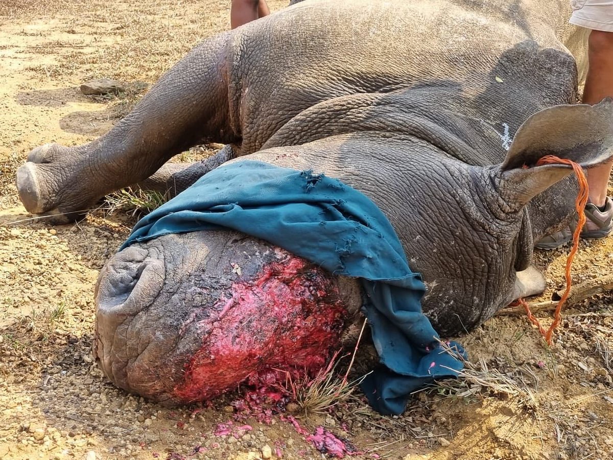 Tragically, another Rhino has been horrifically injured in a poaching incident. While the #Rhino is fortunately still alive, it had both it's horns forcefully removed by the poachers. @WildlifeAtRisk Rhino horn is NOT medicine!!!