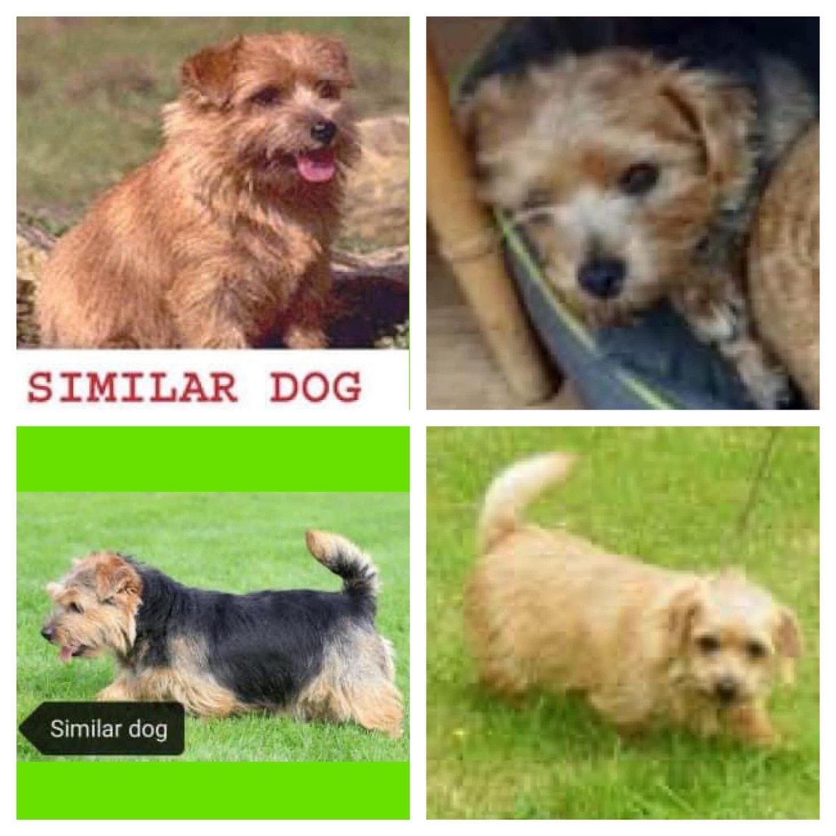 Pls RT PIPPA, JILLY, BELLA AND JESS #STOLEN: 4 #NorfolkTerriers Taken overnight from home in #Pilning, North #Bristol on 20th - 21st October 2021. 2 Red and 2 Black and Tan, all females Call @ASPolice on 101 #PetAbduction #PetTheftReform #FernsLaw #MakeChipsCount @bs2510