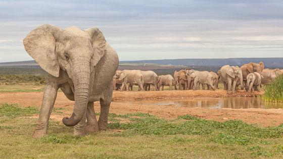 【変異】「牙が生えない象」個体数増える、密猟が原因 モザンビーク1977~92年の内戦で戦費調達のため多くの象が殺され、個体数が90%減少。研究チームは牙が生えない個体がほとんどメスで、歯のエナメル質の形成に関わる遺伝子に突然変異が起きていることを突き止めた。