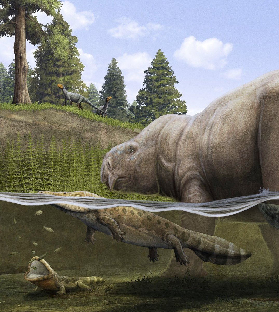 Other animals preyed on the smaller fish, like the lungfish and temnospondyls shown here. The large temnospondyl is a capitosauroid. The smaller Plagiosaurid Temnospondyl on the left, is sitting right there with its mouth open waiting for some fish to swim just in range.