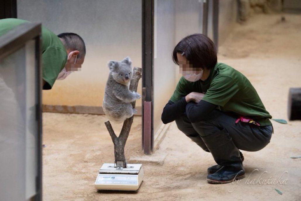 コアラの体重測定が可愛すぎる
