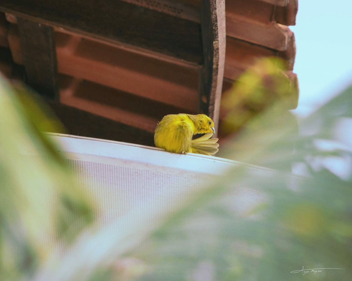 Se arrumando! . . . #OlhaIssoEPTV #composition #moment #pic #nikond5100 #photoofday #respirofotografia #bird #nature #day #dayshots #vscocam #madebyGod #plants #photography #bright #congeleiomomento #beautiful #canariodaterra #photo #photographer #daylight #lightroommobile
