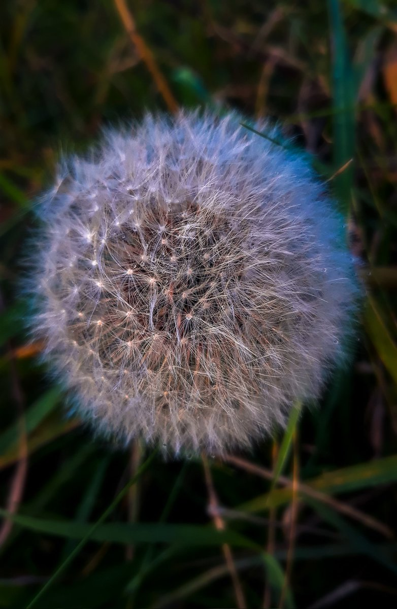 Dandelion, Clock   #Flowers #plants #GardenersWorld #flora #nature #naturephotography #dandelion #wakefieldweekly @WakeExpress #tempusfugit