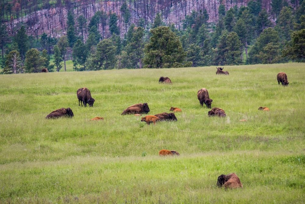 Custer State Park, South Dakota   Nikon COOLPIX P1000      Jonathan Mast #Nikon #Nikonphotography #photography #photo #photooftheday  #SouthDakota