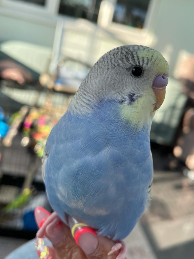 God she's beautiful   #birds #budgies #photography #nature #nofilter