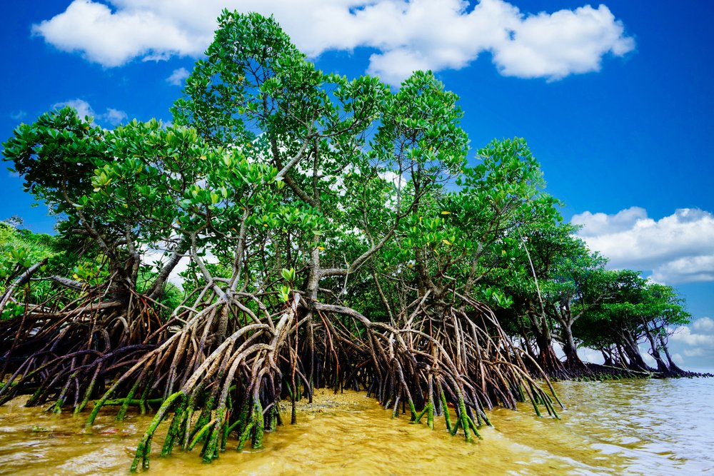 MangroveProject photo