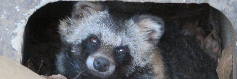 #今日のタヌキさん@夢見ヶ崎 今朝のゲンマイさん ちょいーんと座ったまま…かと思うと、 わりと頻繁に座ってる向きが変わってる^^; #夢見ヶ崎動物公園 #ホンドタヌキ #タヌキ #tanuki #raccoondog… https://t.co/B51Es3Rarx