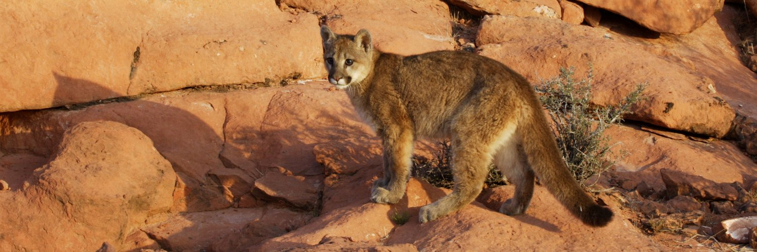 The mission of the Mountain Lion Foundation is to ensure that America's lion survives and flourishes in the wild.