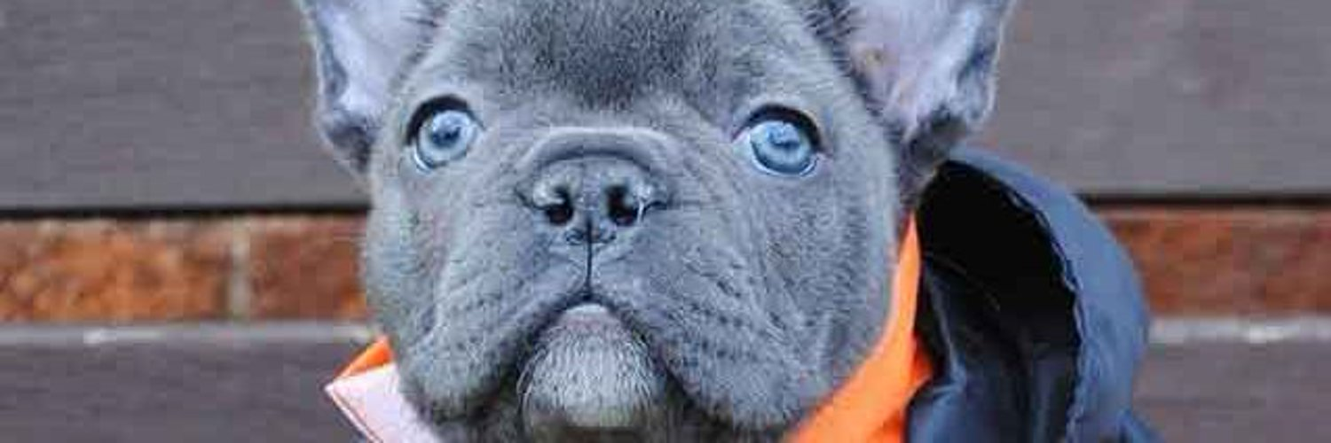 All about French Bulldogs