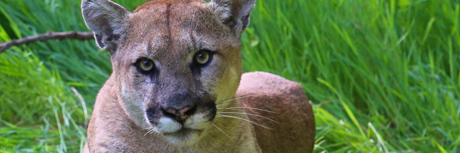 Our mission is to reduce human-wildlife conflict and conserve cougar populations through science-based management and conservation.