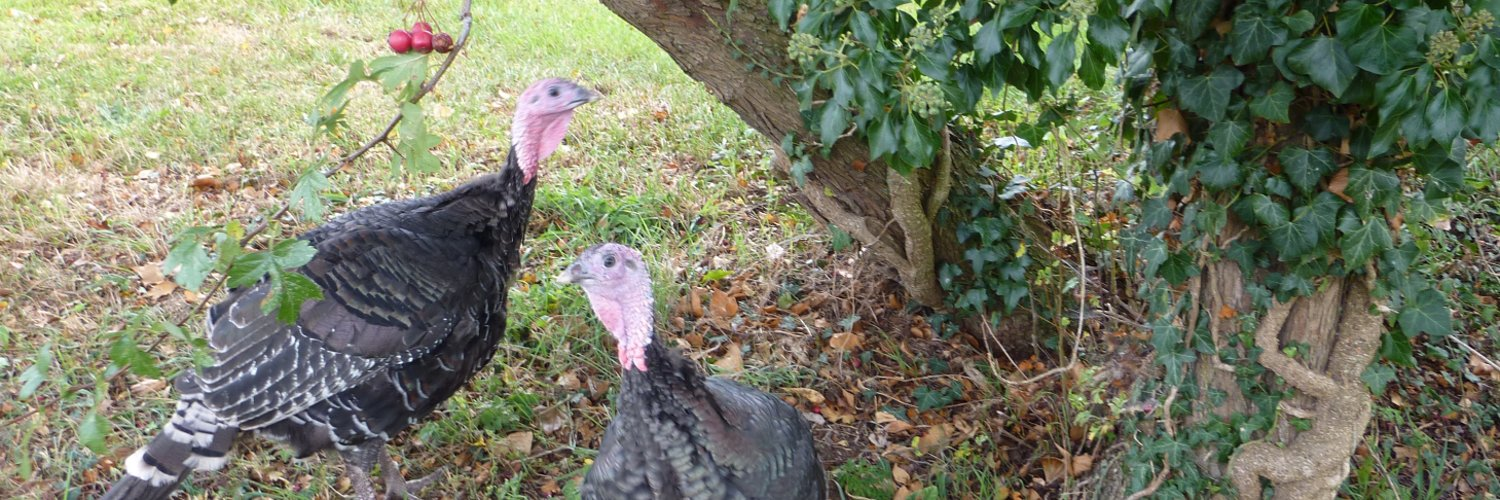 Harts Traditional Turkeys are a small family run farm rearing free range #GoldenTurkeys in the heart of rural Gloucestershire.