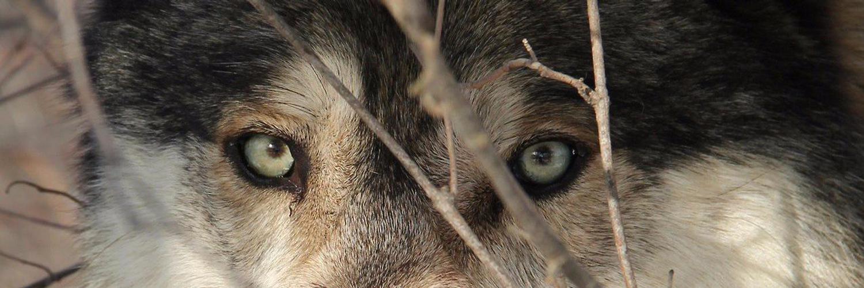 глаза волка у человека фото слову, кирилл