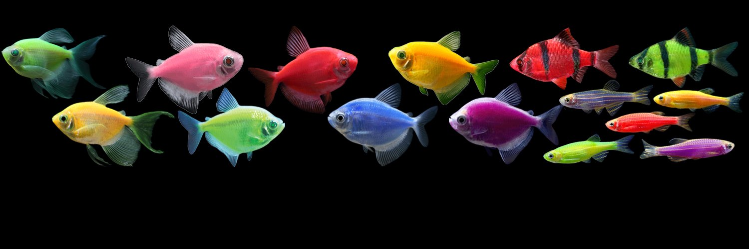 """GloFish® on Twitter: """"Which color do you like:Electric ..."""