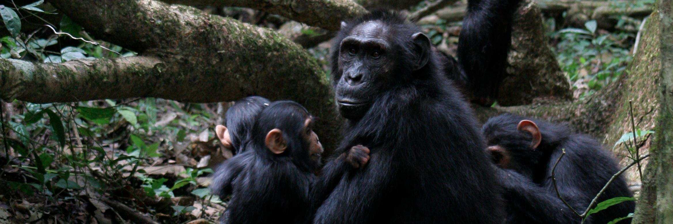 """""""You don't need a degree to be a primatologist"""" Vernon talks about the 'front line primatologists' the field assist… https://t.co/y0BKjIoDH4"""