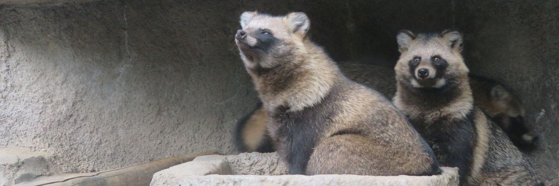 しなやかに方向転換するマナさん。 タヌキに「しなやか」って、なんかちょっと違和感? いや、まぁ、実際しなやかなんだけど、スマートっぽい単語とのアンマッチがまたタヌっぽい。 #多摩動物公園 #タヌキ https://t.co/roCiRM8ukh