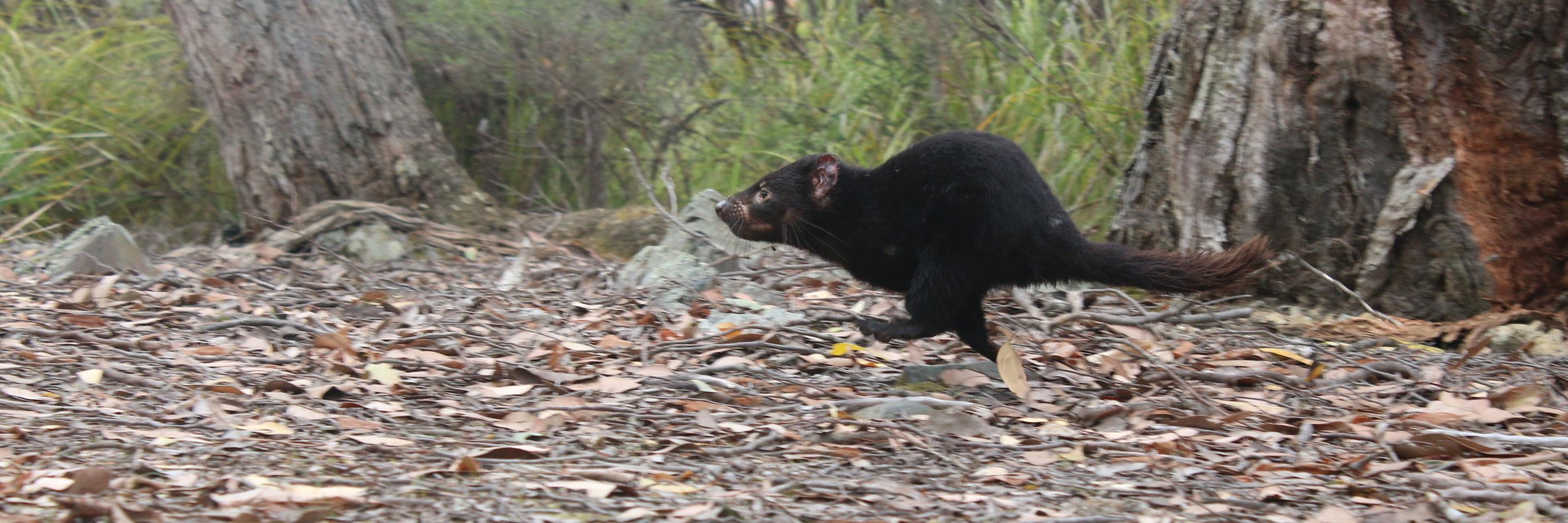 What's even better than a Tasmanian devil? A Tasmanian devil carrying pouch young! These joeys are ~ 4.5 mths ol… https://t.co/CRJqMTpzQH