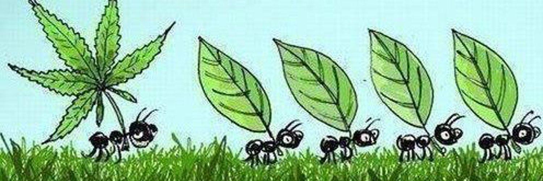 Картинки муравей с марихуаной skyrim мод на марихуану