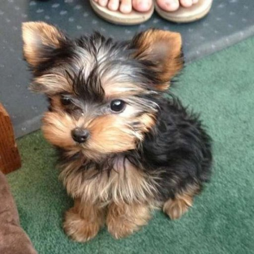 Yorkie Puppies For Sale At Ngongjulian Twitter