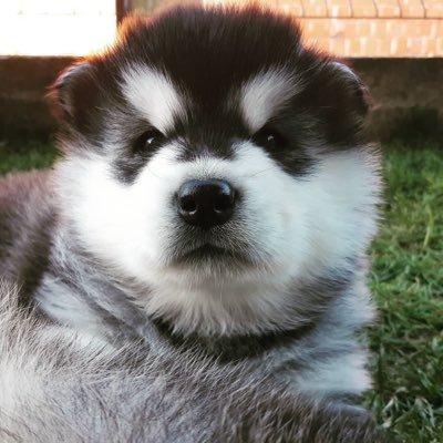Huskies (@huskypage) Twitter profile photo