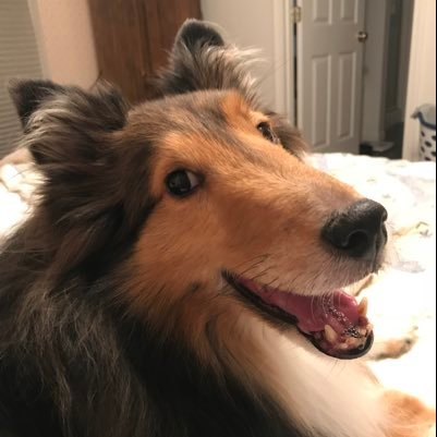 Dave the Sheltie