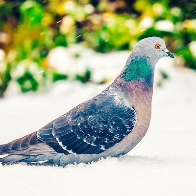 Magical Pigeon