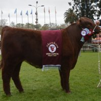 Shorthorn Bella Sombra