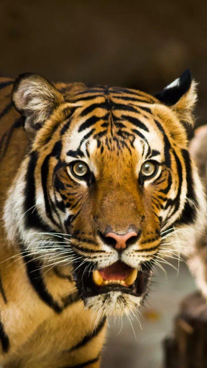 Harimau Jantan On Twitter Mantaf