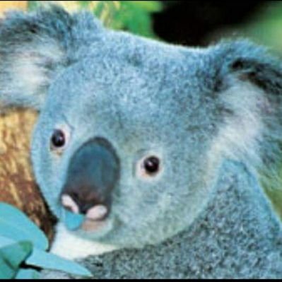 koala to the max