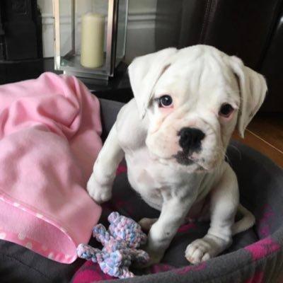 Layla the White Boxerdog