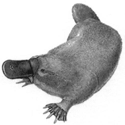 Ima Platypus ©️ ✍️