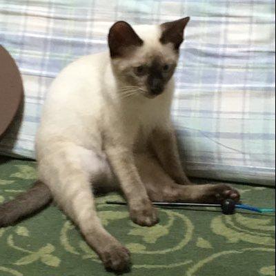 シャム 猫 子猫