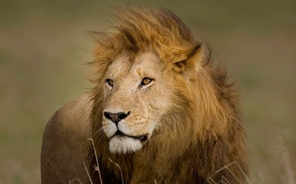 The Lion Lover