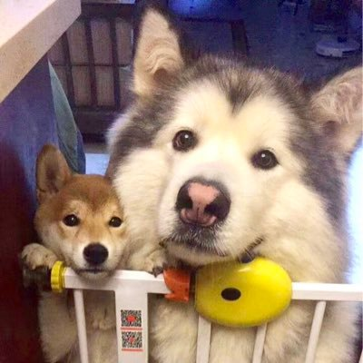 Alaskan Malamute Alaskandaily Twitter 3 giant alaskan malamutes also known as big teddy bears and a maine coon cat called milo. alaskan malamute alaskandaily twitter