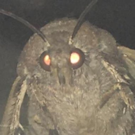 The Moth Lord