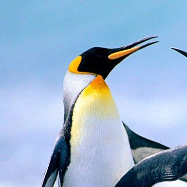 ダズルペンギン@校門の菊のアイコン