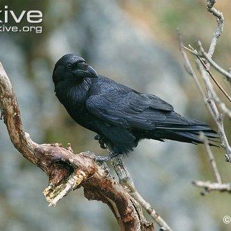 corvuscorax81