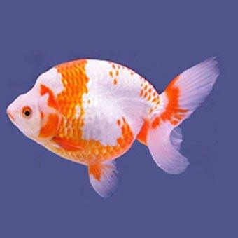 金魚 @goldfish1173