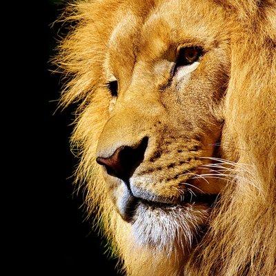 俺はライオンやで @Lion_oreyade