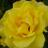 orangeflower08