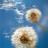 Sow Dandelions