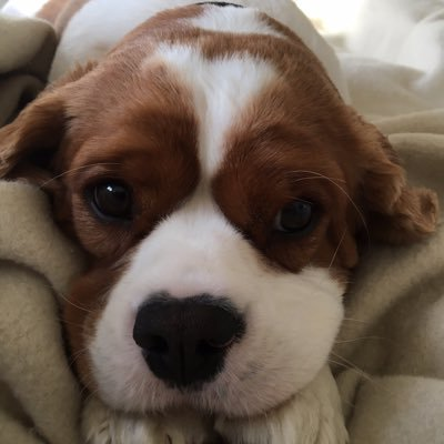 Ernest The Cute King Charles Cavalier